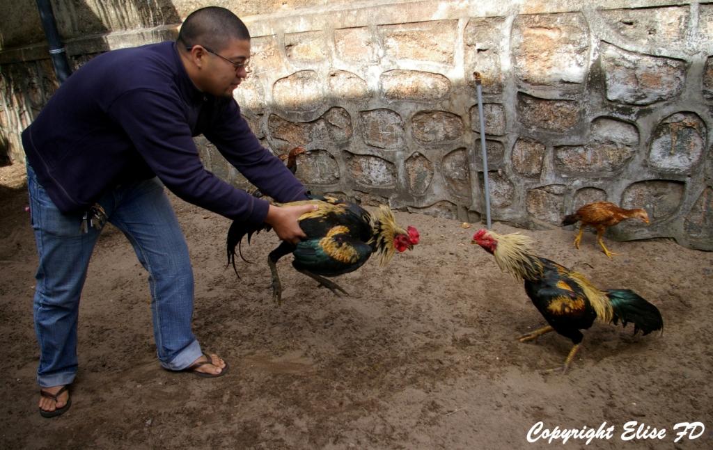 L'ultime exercice vise à éprouver l'agressivité de l'animal : placé face à un autre coq de combat, on évalue son envie de se battre.